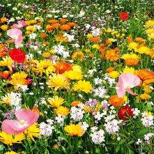 Мавританский (цветочный газон).