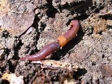 Червяк в родной среде - в компосте