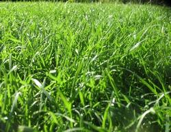 Мой газон. Ему 7 лет.