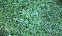 Маргаритки на моем газоне