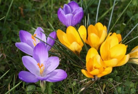 Настроение весной поднимут крокусы.