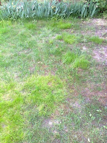 Мой газон плохо перезимовал