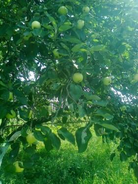 Яблоки на газоне. Переработать или выбросить?
