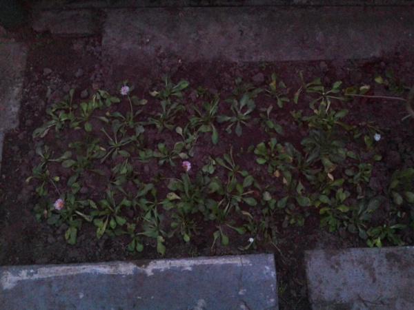 Используем газонные сорняки с пользой.