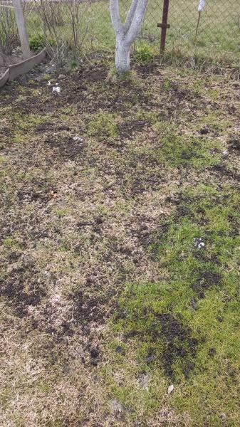 Удобрение (подкормка) газона компостом.