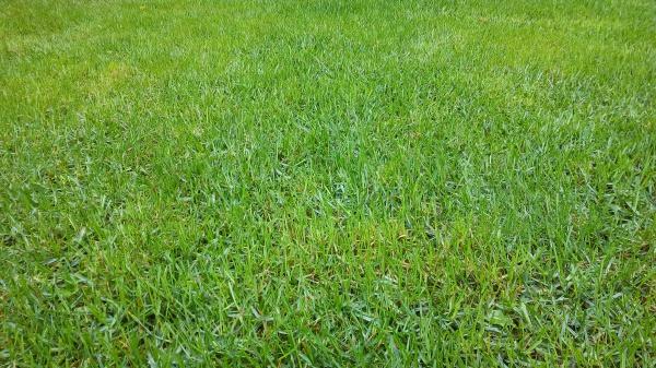 Подкормка и подсев газона в дождливую погоду.