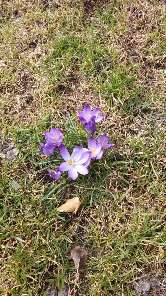 Первые цветы на моем газоне: крокусы, нарциссы и тюльпаны. Фотоотчет.