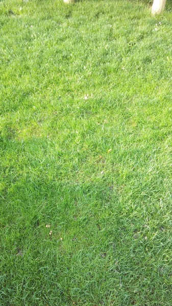 Результат подкормки газона компостом.